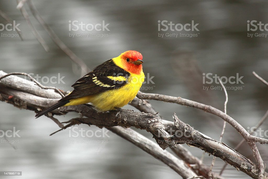 Western Tanager (Piranga ludoviciana) on a willow branch. stock photo