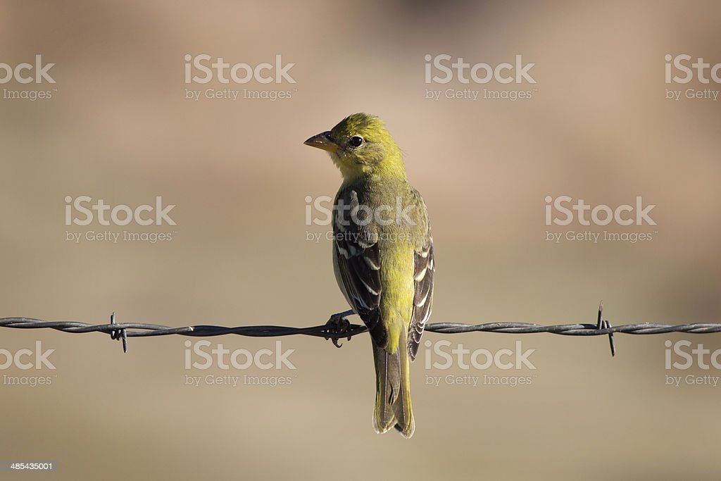 Western Tanager on Barbed Wire royalty-free stock photo