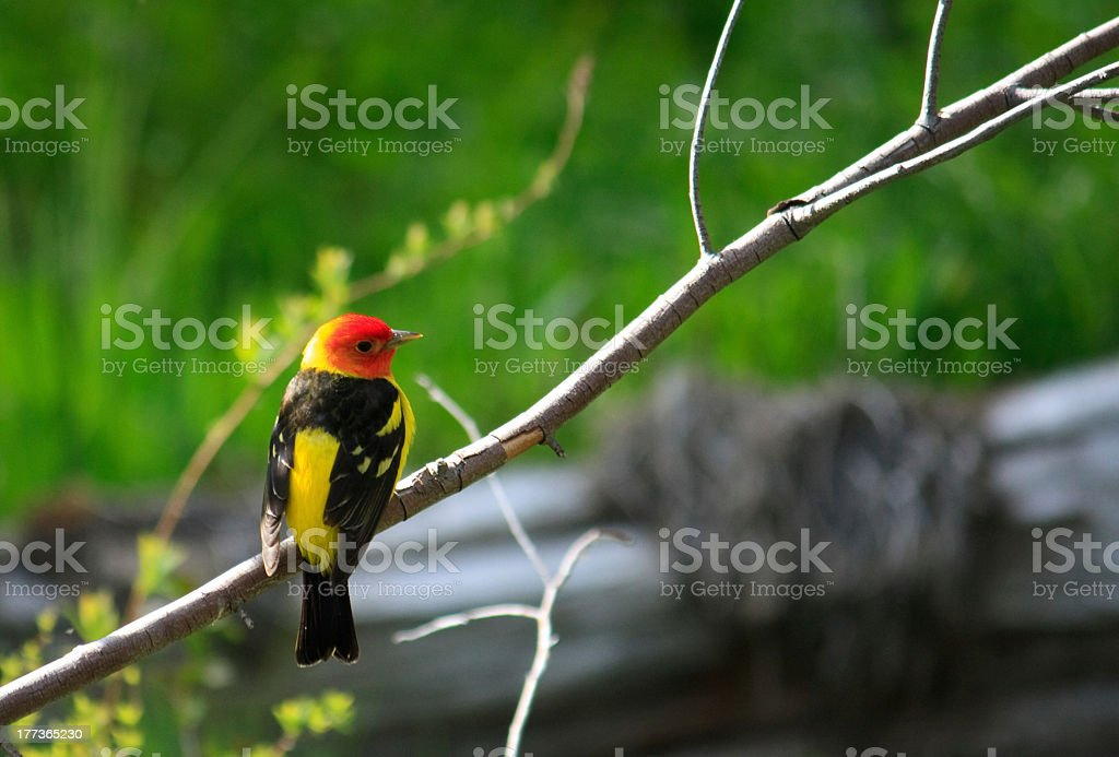 Western Tanager perched stock photo