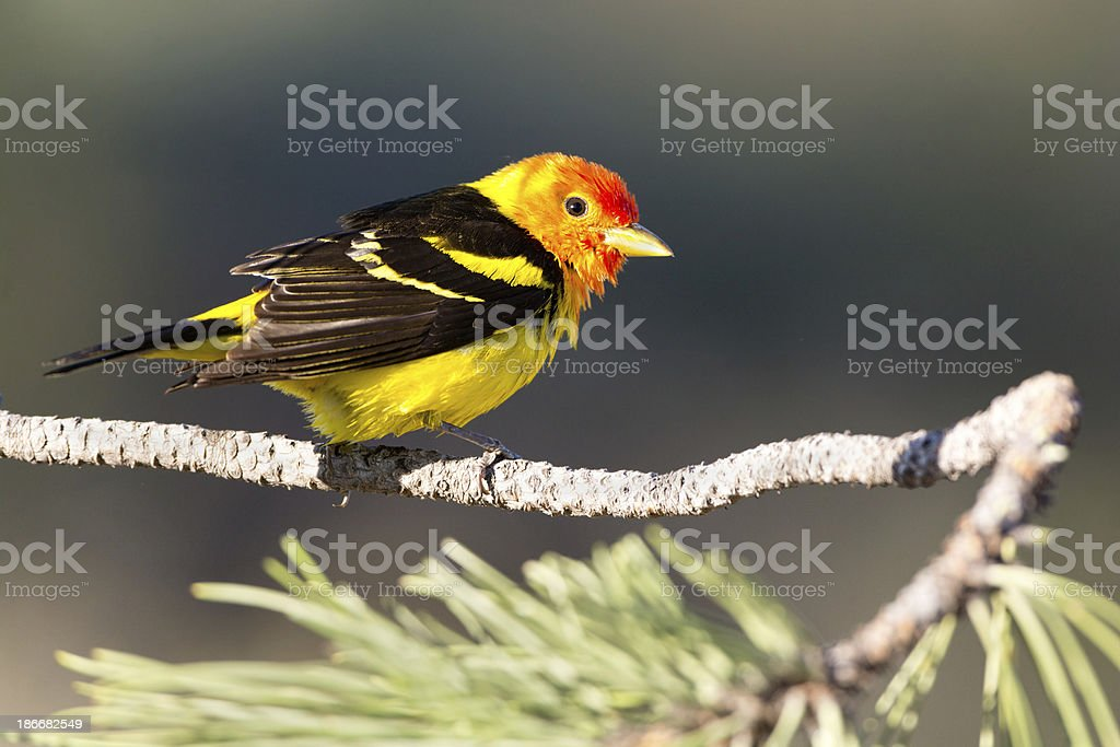 Western Tanager royalty-free stock photo