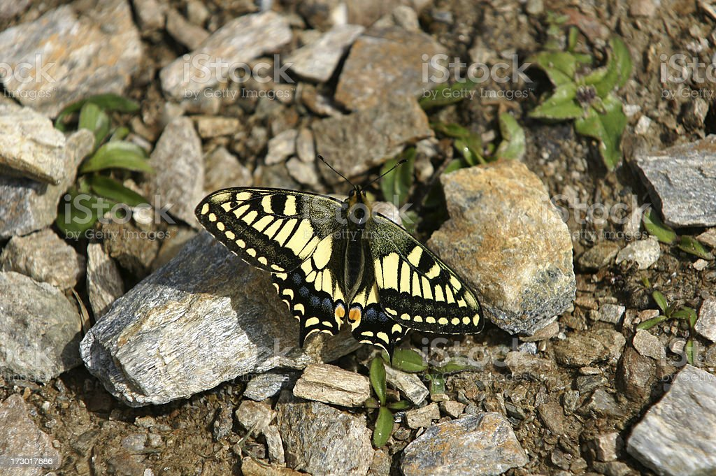 Western Tiger Swallowtail royalty-free stock photo