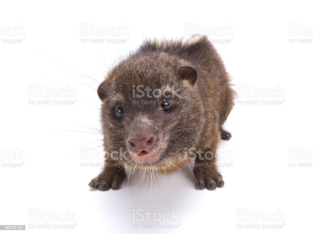 Western tree hyrax (Dendrohyrax dorsalis) stock photo