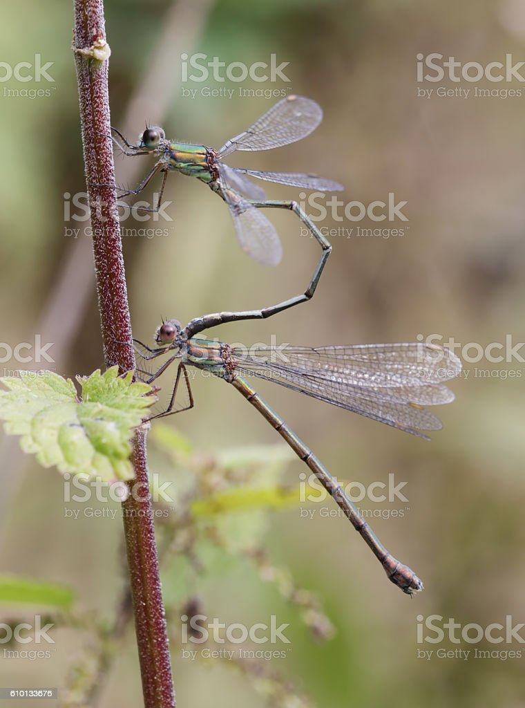 Western Willow Spread wing Dragonfly (Lestes viridis) in Courtship stock photo