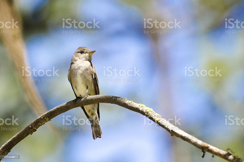 Western Wood-Pewee Perched in a Tree stock photo