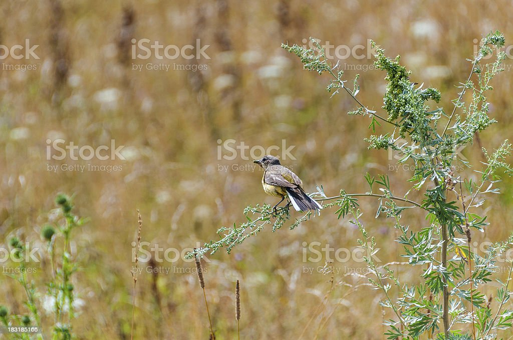 Western Yellow Wagtail  catching grasshopper sits on wormwood branch stock photo