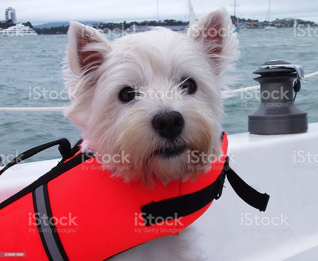 Westie dog in a lifejacket on boat stock photo