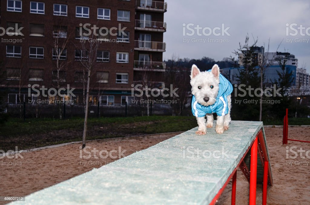 Westie dog stock photo