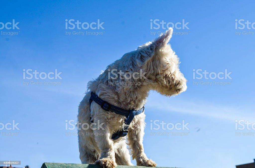 Westie dog stock photo