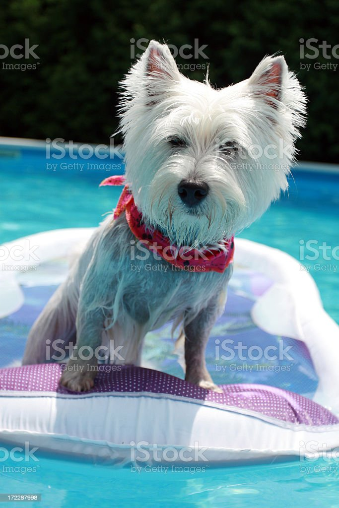 Westie dog standing on inflatable mattress in swimming pool royalty-free stock photo