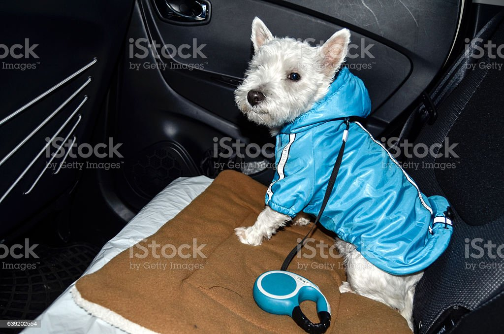 Westie passenger stock photo