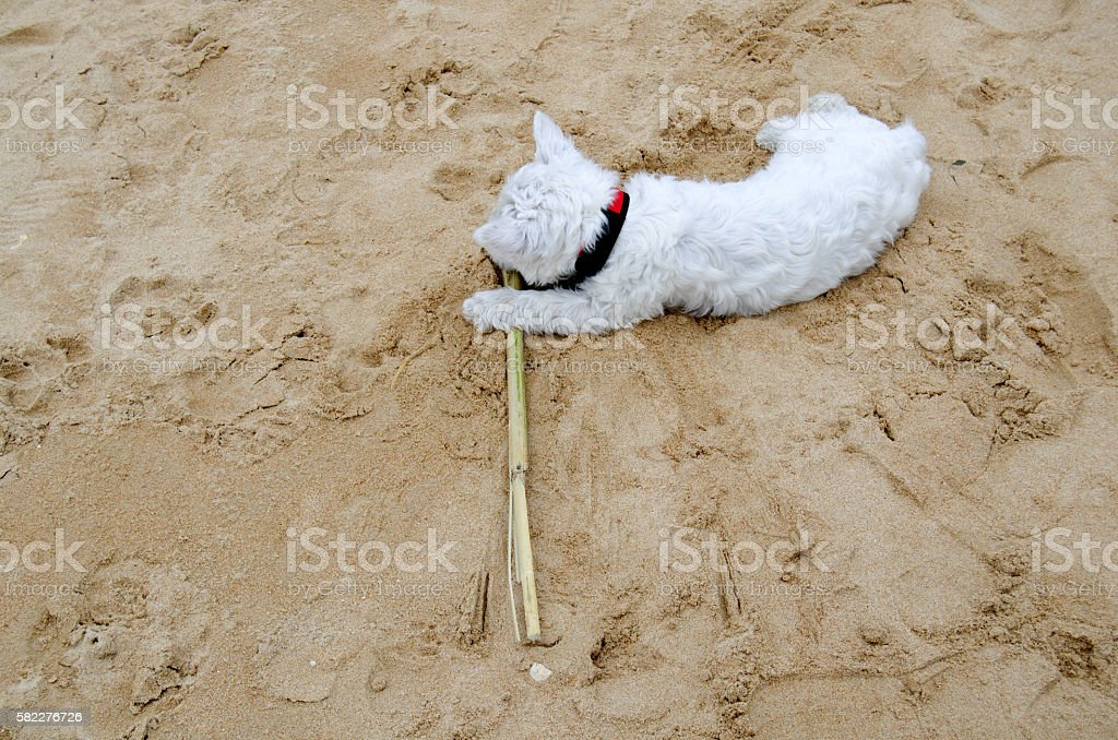 Westie puppy on the beach stock photo