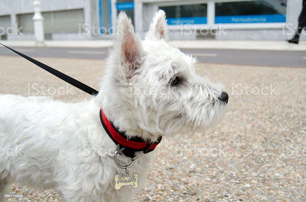 Westie puppy on the street stock photo