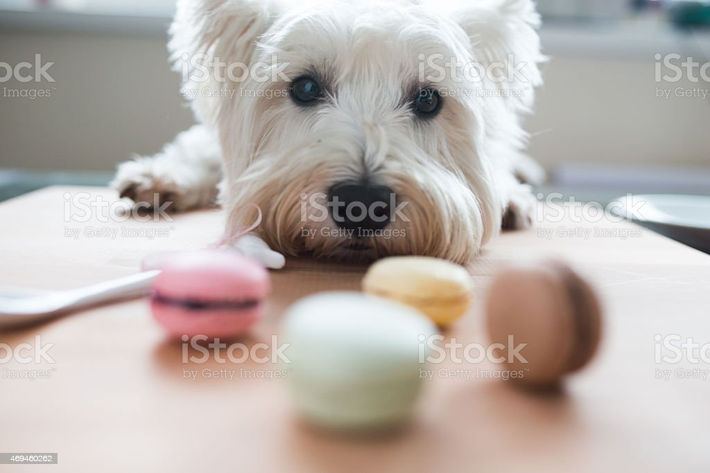 Westie with macaroons stock photo