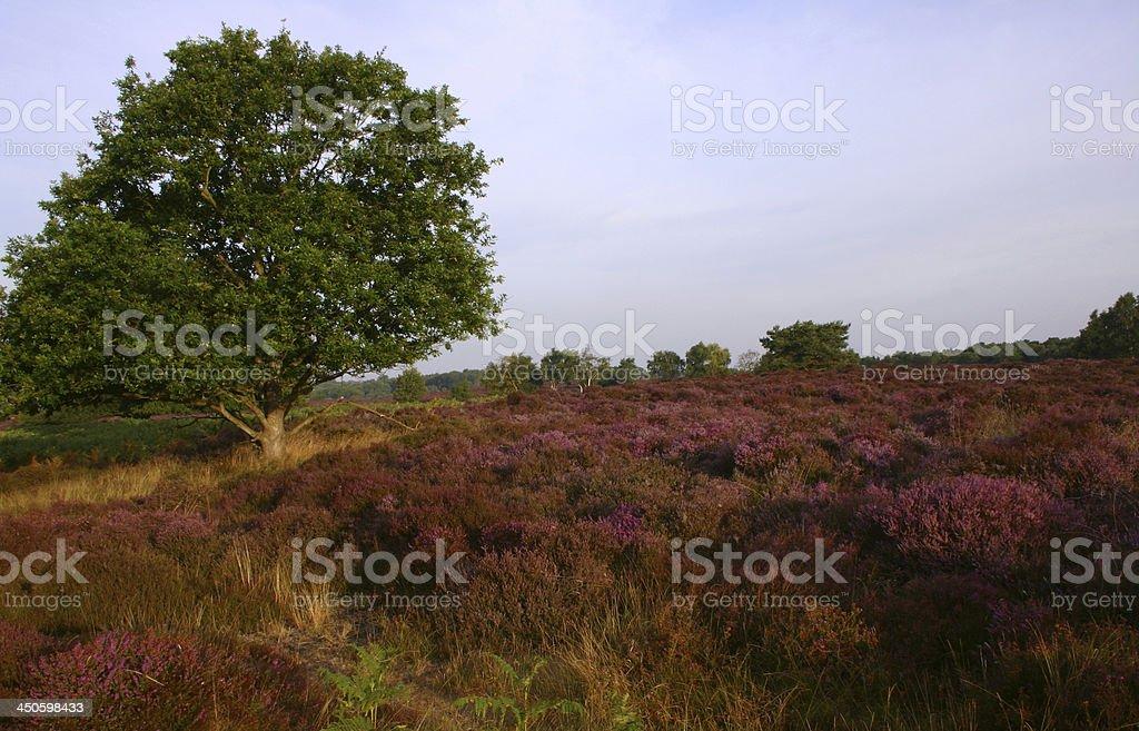 Westleton Heath National Nature Reserve stock photo