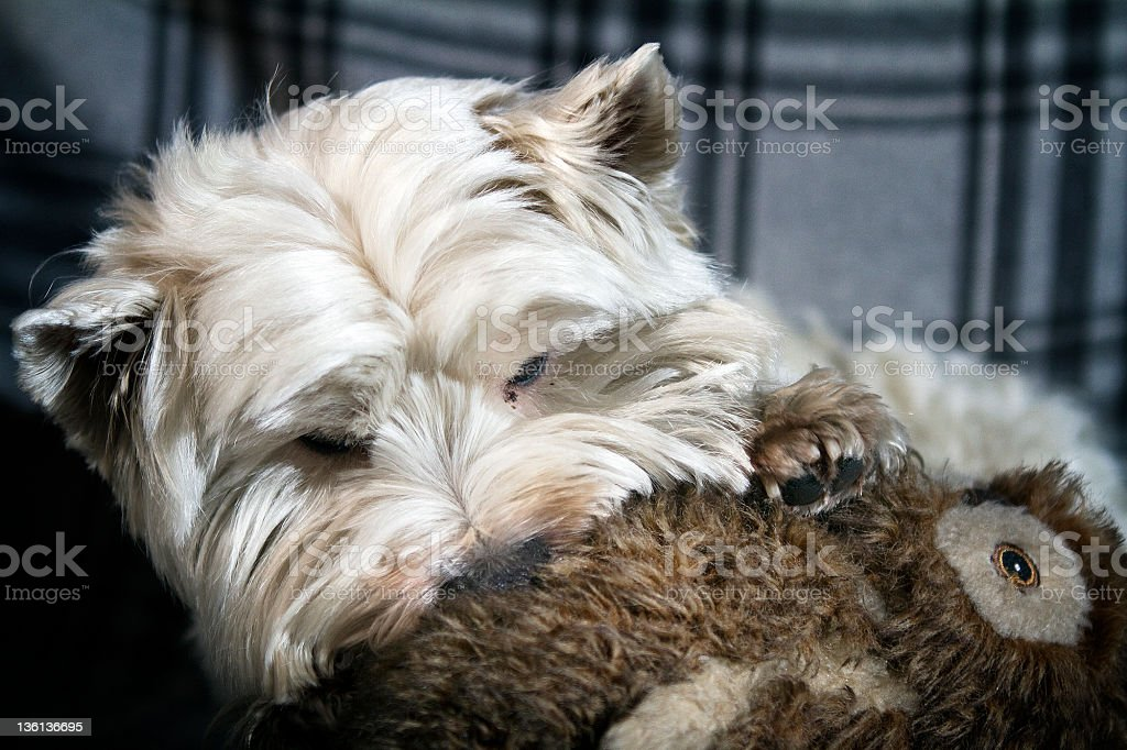 westy and his puppet! stock photo