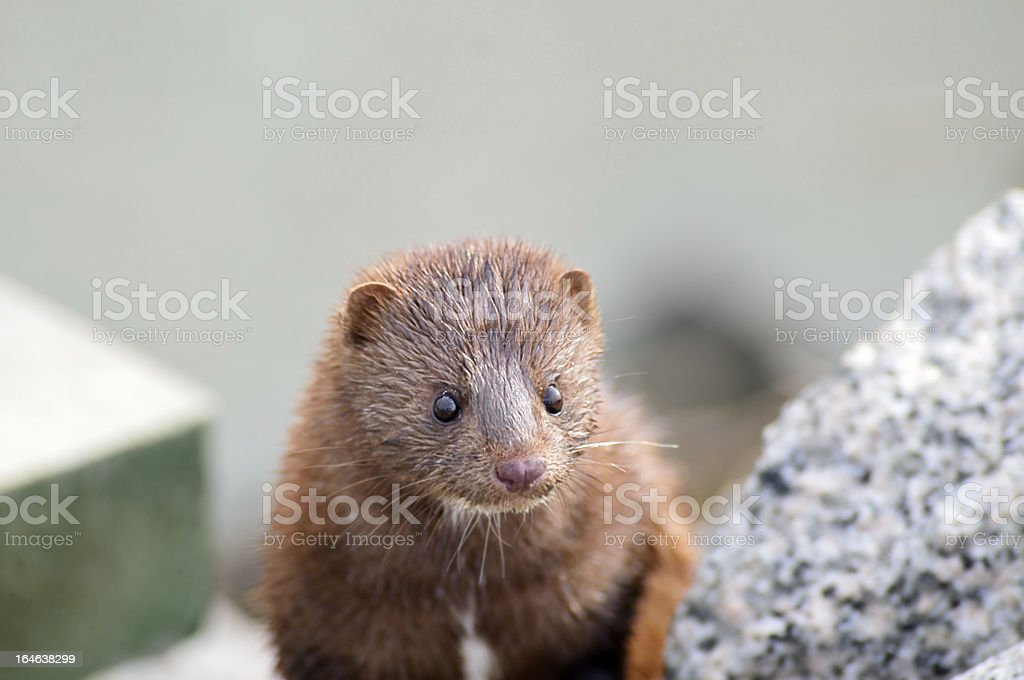 Wet American Mink, Neovison vison, Climbing Out stock photo