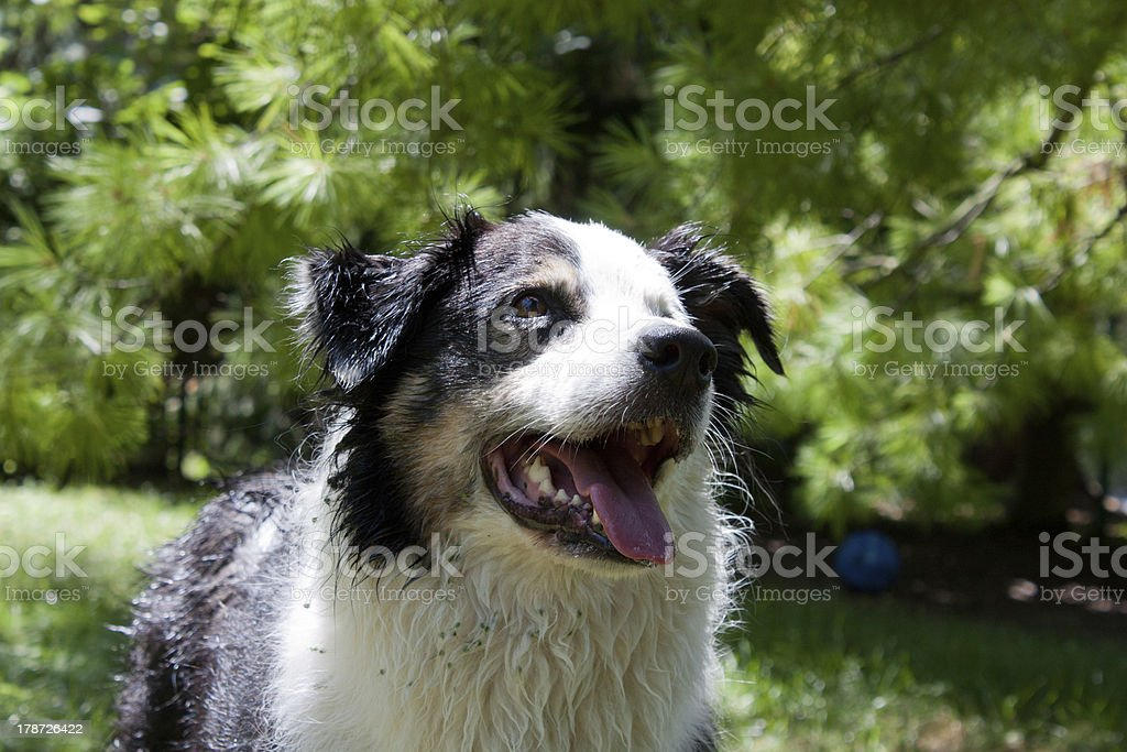 Wet and dirty dog happy to play stock photo
