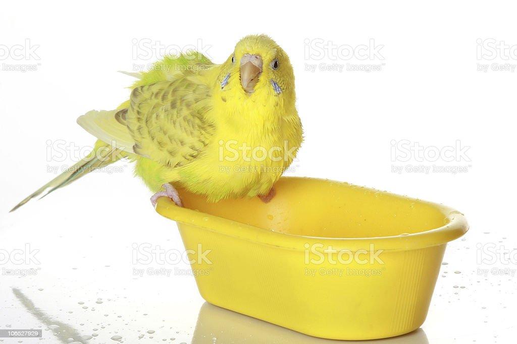 Wet, bathed parrot stock photo