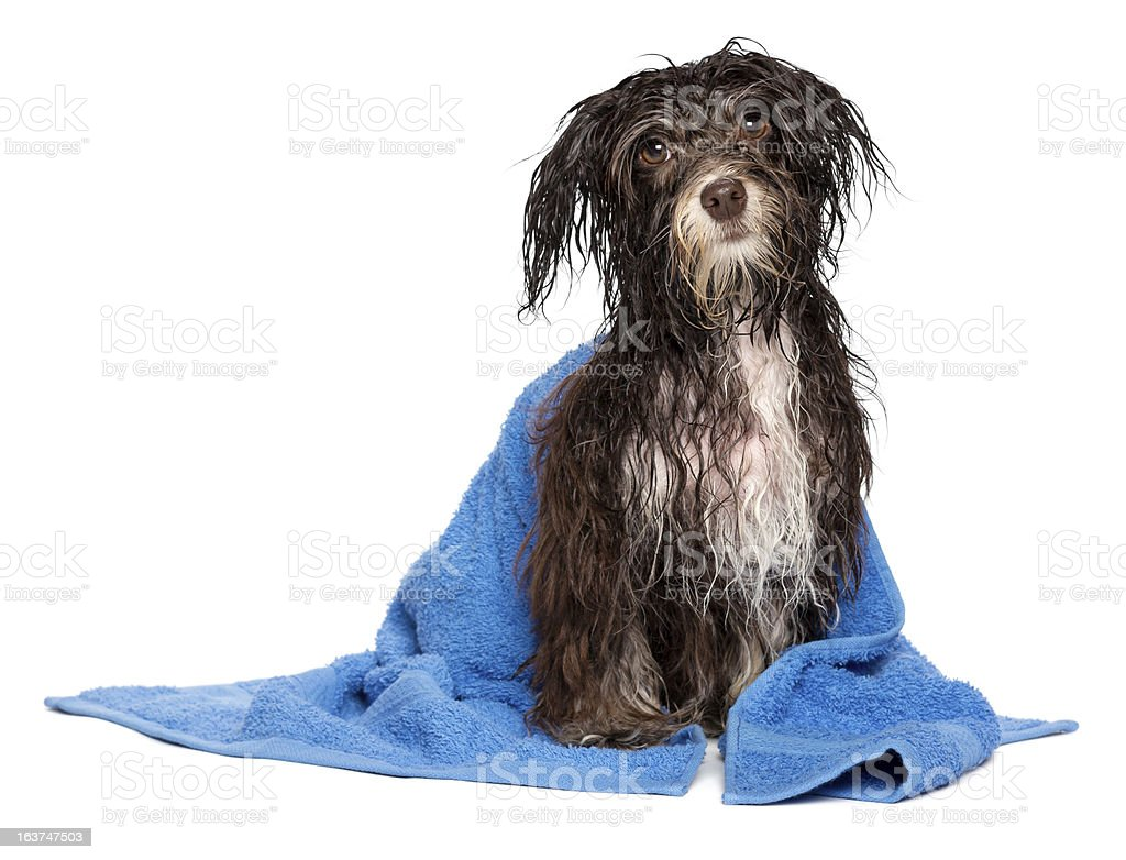 Wet black and white havanese dog after bath in blue towel royalty-free stock photo