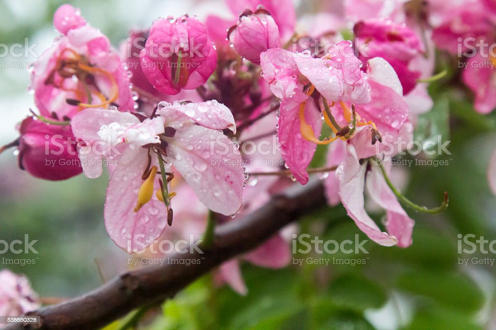 Wet blossoms on the Cassia javanica tree stock photo