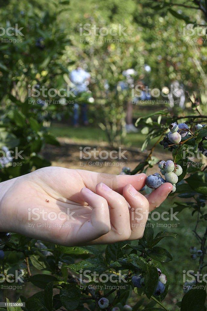 Wet Blueberry Picking royalty-free stock photo