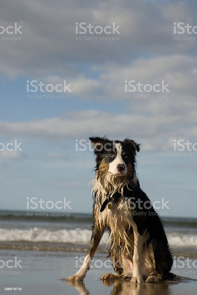 wet border collie on the beach stock photo