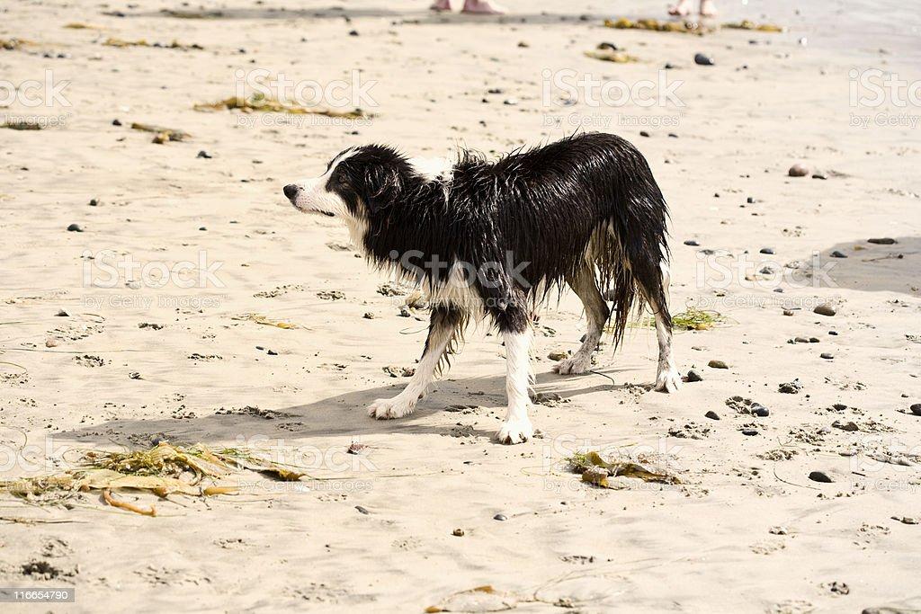 Wet Border Collie stock photo