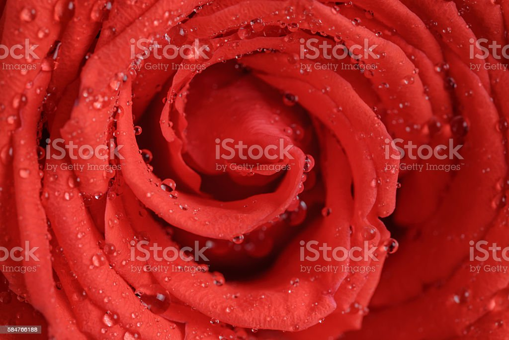 wet bright red rose close up shot stock photo