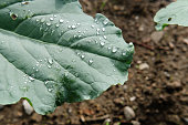 Wet Broccoli Plant