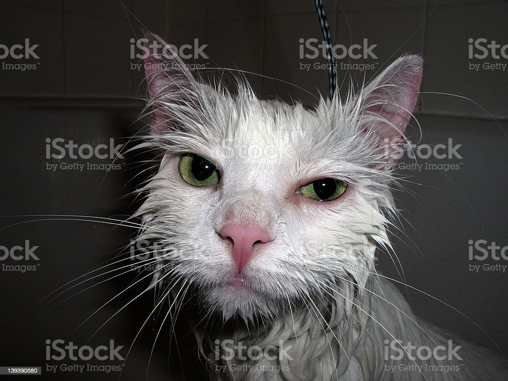 Wet cat royalty-free stock photo