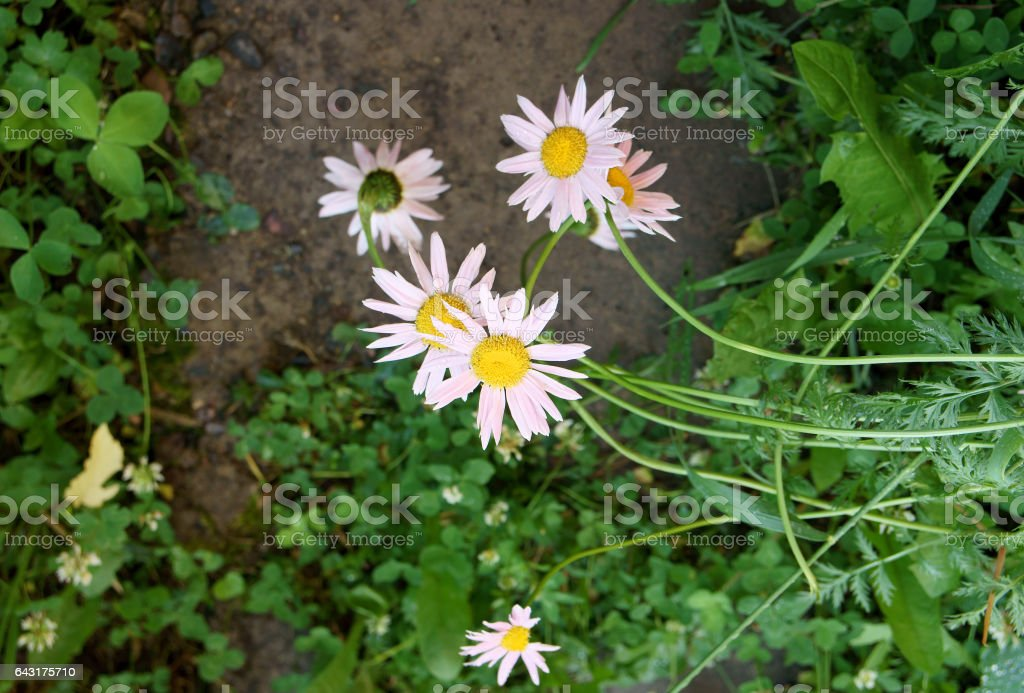 Wet chamomile flowers stock photo