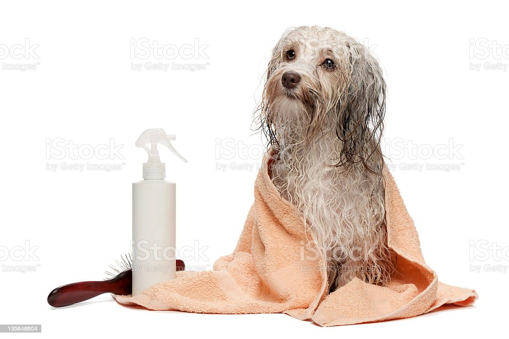 Wet chocolate Havanese dog wrapped in a towel after a bath stock photo