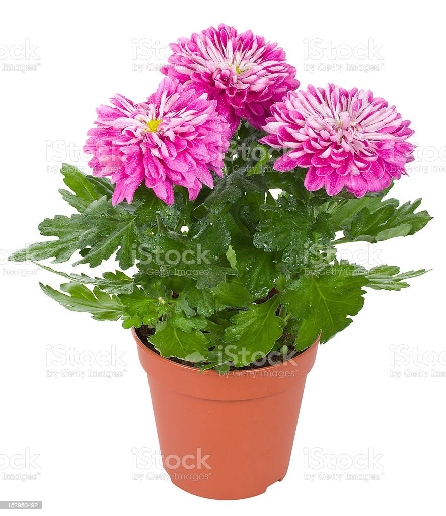 wet chrysanthemum flowers in pot royalty-free stock photo
