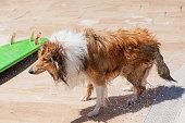 Wet collie dog shaking off near surfboard