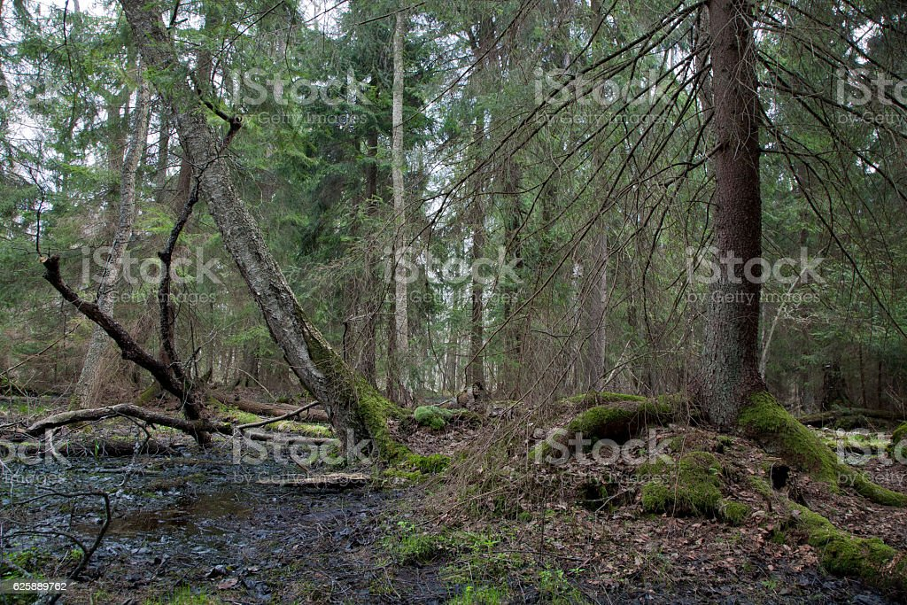 Wet coniferous stand in spring stock photo