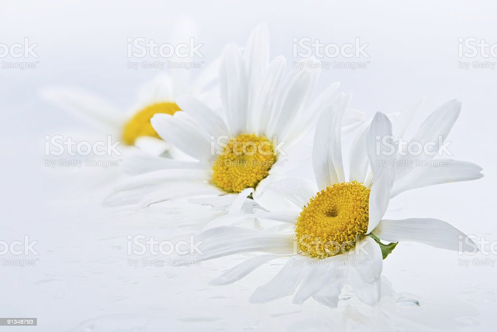 Wet daisy heads royalty-free stock photo