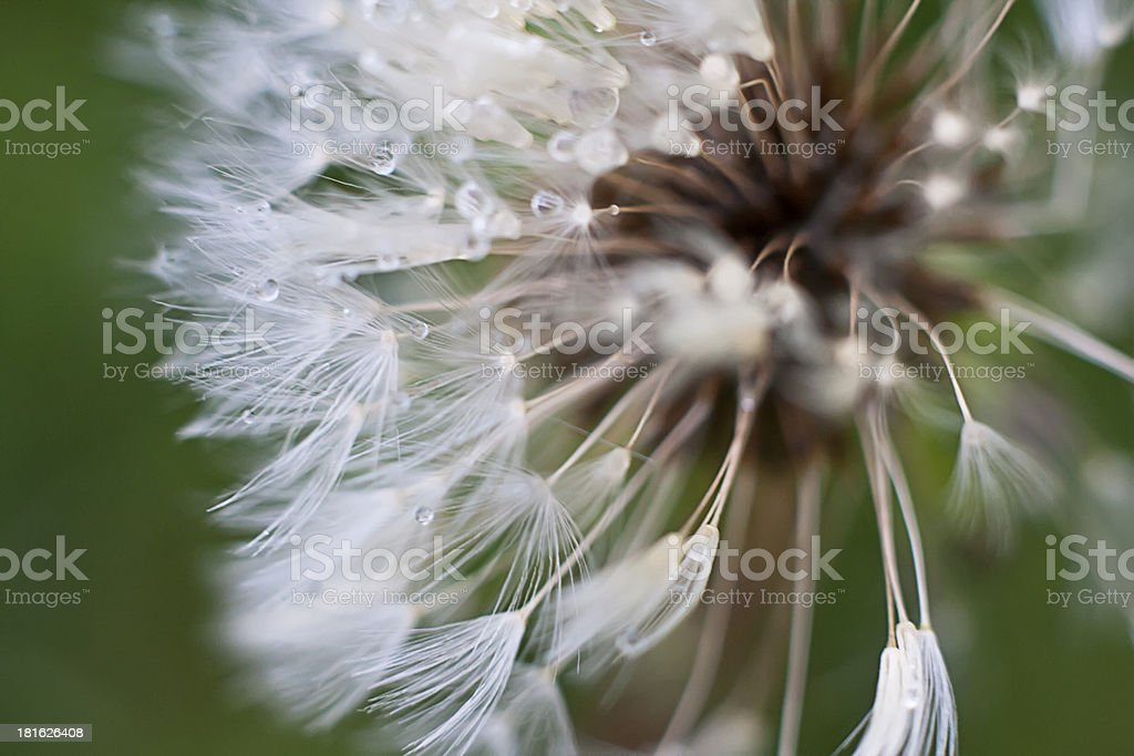 wet dandelion royalty-free stock photo