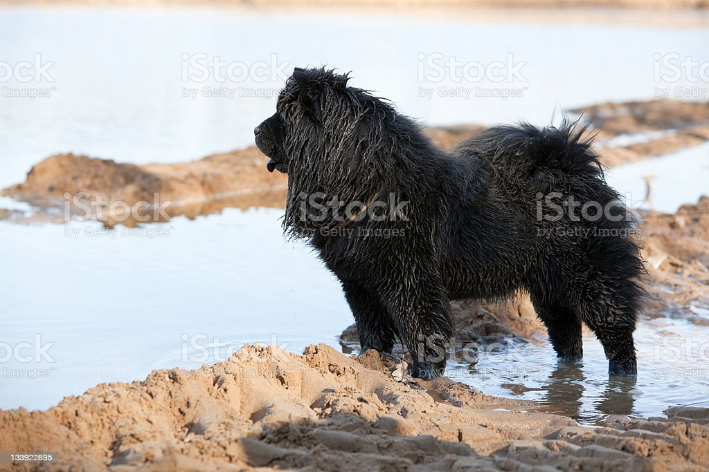Wet dirty black chow-chow stock photo