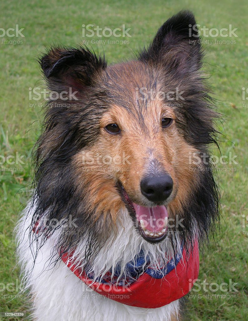 Wet Dog - Shetland Sheepdog stock photo