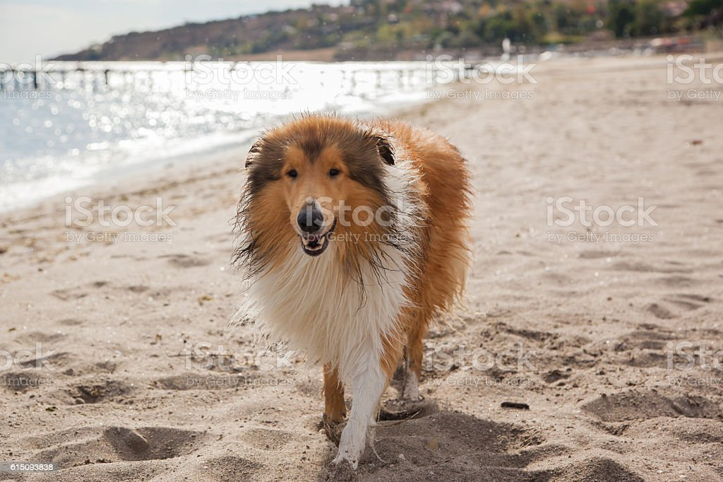 Wet dog standing at the beach stock photo