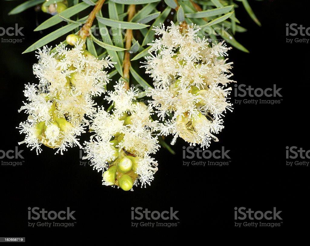 Wet eucalypt blooms stock photo