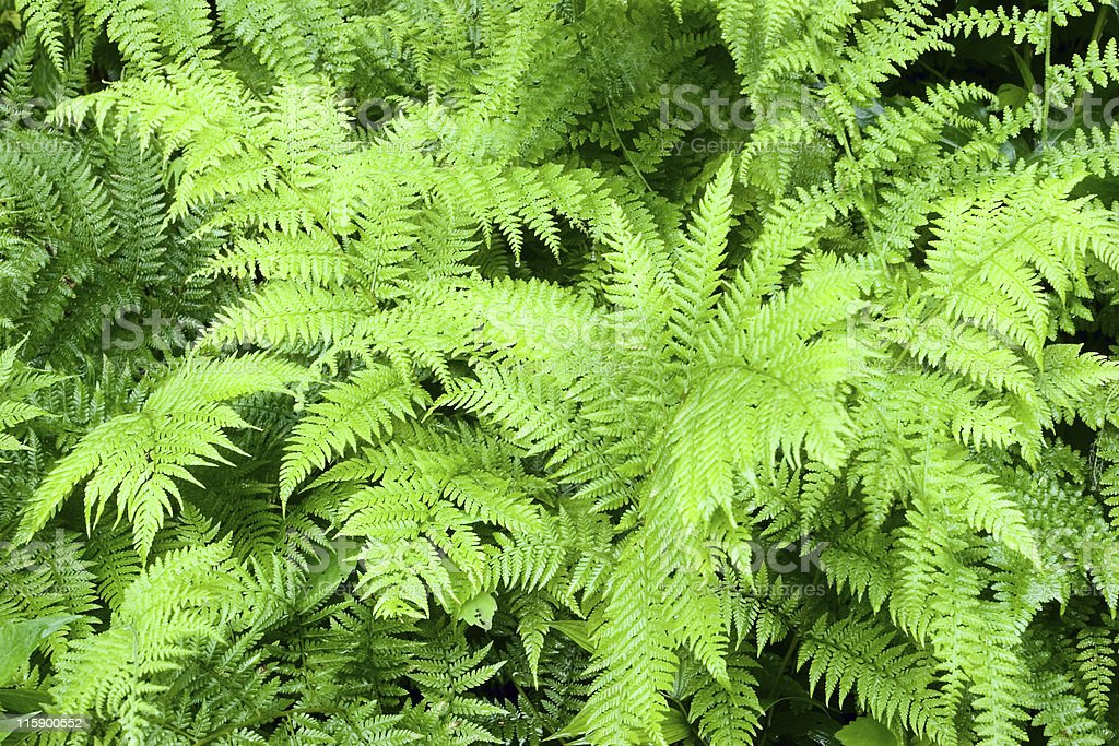 Wet Ferns royalty-free stock photo