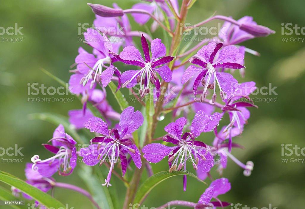 Wet Fireweed (Chamerion angustifolium) stock photo