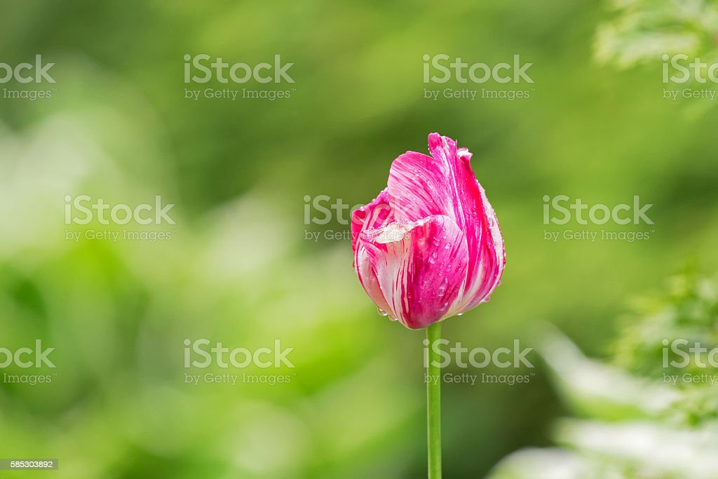 Wet flamboyant variegated tulip flower in pink and white stock photo