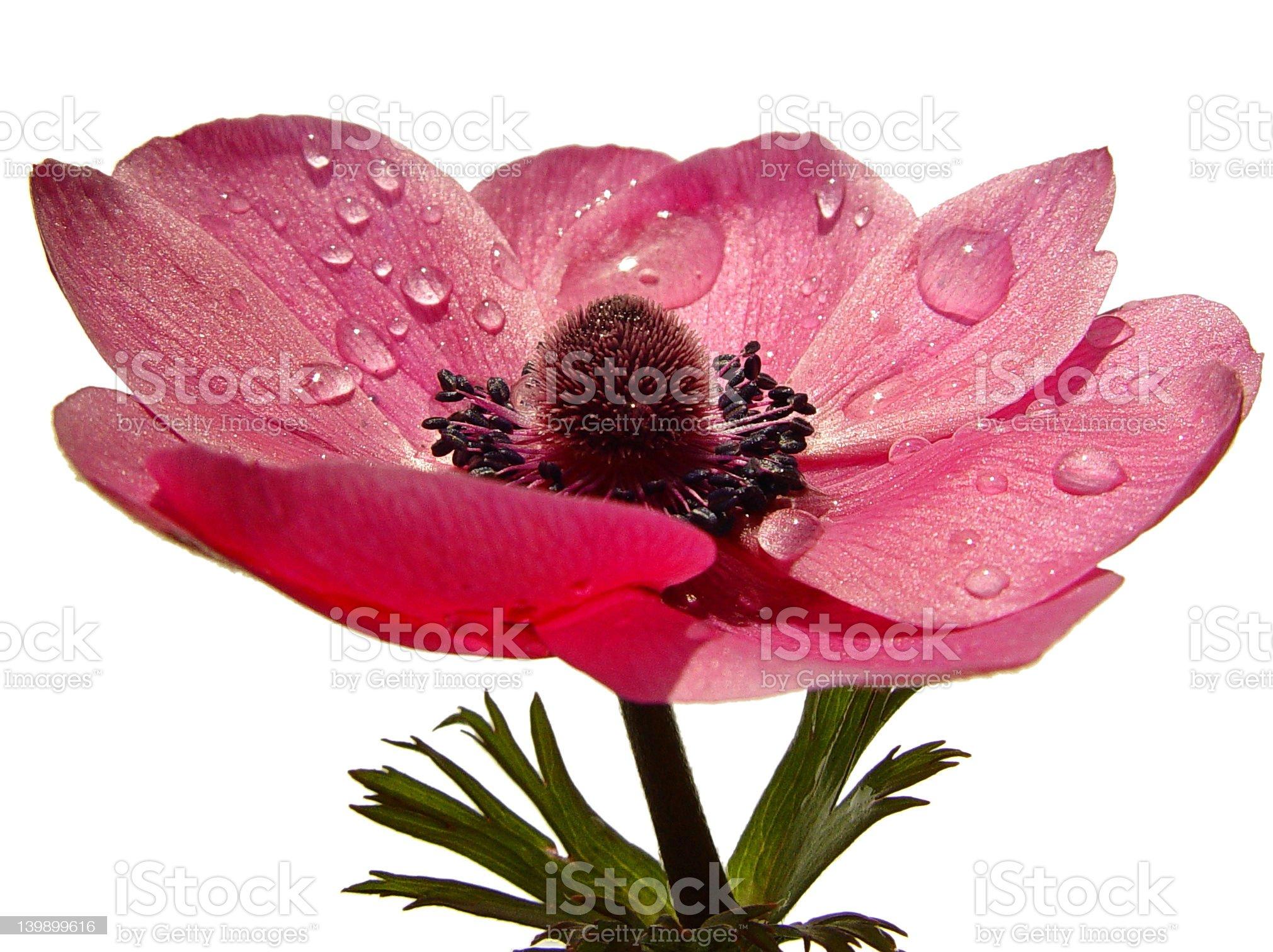 Wet Flower royalty-free stock photo