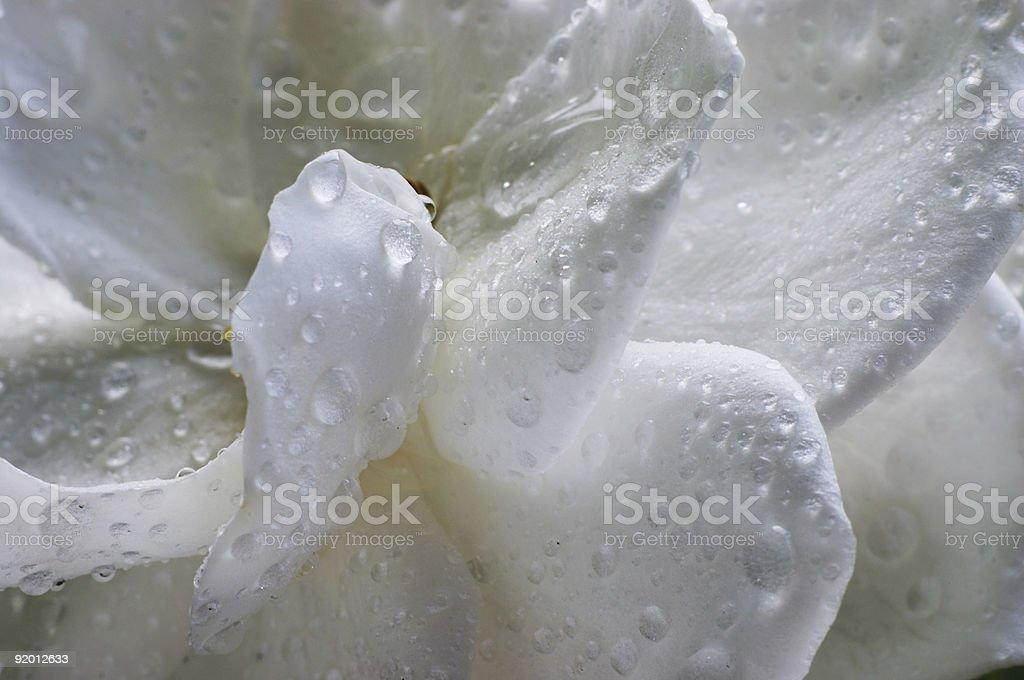 Wet Gardenia flower royalty-free stock photo