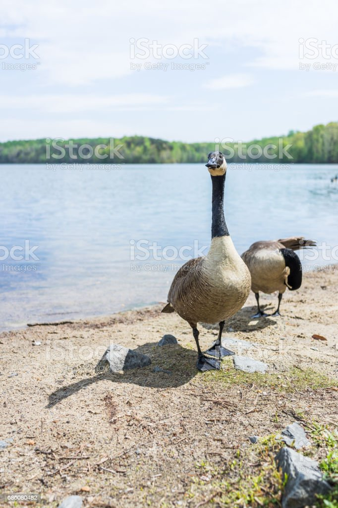 Wet geese walking by lake begging for food in Virginia stock photo