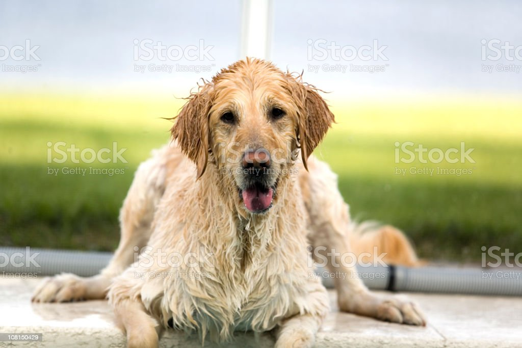 Wet Golden Retriever on Deck royalty-free stock photo