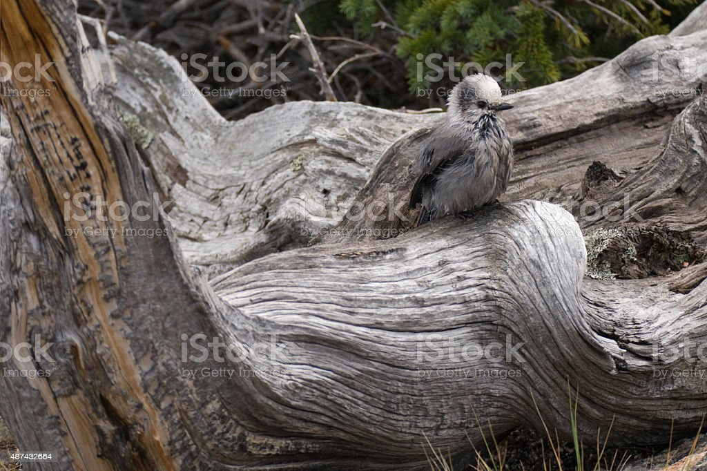 Wet gray jay on twisted trunk Chief Mountain Colorado stock photo