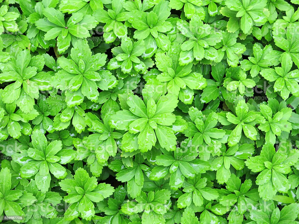 Wet, Green Banket of Pachysandra Ground Cover Plant stock photo